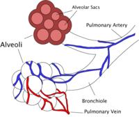 200px-Alveoli_diagram.png