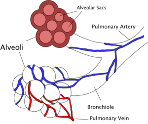Bronchiole - Diagram of the alveoli with both cross-section and external view.