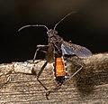 Alydus calcaratus MHNT Vol.jpg