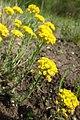 Alyssum montanum kz02.jpg