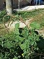 Amaranthus viridis sl24.jpg