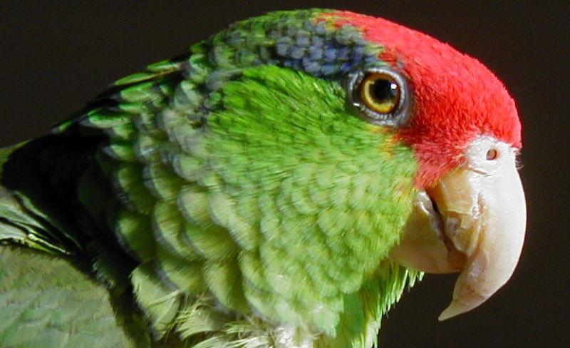 File:Amazona viridigenalis -head.jpg
