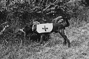Ambulance Dog