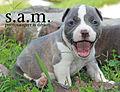 American Bully Male Puppy Jaxson (8000768099).jpg