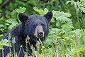 American black bear (Ursus americanus) - Jasper National Park 01.jpg
