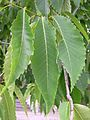 American chestnut leaves (Sault).JPG
