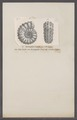 Ammonites lyelli - - Print - Iconographia Zoologica - Special Collections University of Amsterdam - UBAINV0274 091 01 0081.tif