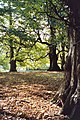 Amongst the beech trees, Dunham Massey - geograph.org.uk - 223802.jpg