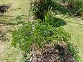 Amorphophallus campanulatus-Jardin botanique de Kandy.jpg