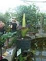 Amorphophallus titanum in Copenhagen 03.jpg