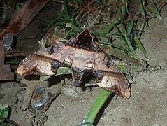 Amplypterus panopus mindanaoensis (Philippines, Luzon, Nueva Ecija, Dalton Pass) (Desmond Allen) male.jpg