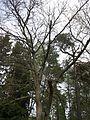 Amuuri korgipuu 1.jpg
