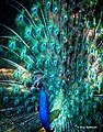An Indian Peacock in Full Bloom (in the Shade of a Tree) (47338306951).jpg