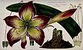 An amaryllis (Amaryllis pretina); flower, leaf and floral se Wellcome V0044268.jpg