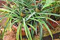 Ananas comosus Pineapple ანანასი (2).jpg