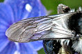 Andrena.cineraria9.-.lindsey.jpg