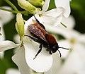 Andrena fulva, female - Flickr - gailhampshire (1).jpg