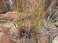 Andropogon scoparius (3797558476).jpg