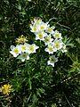 Anemonastrum narcissiflorum sl3.jpg