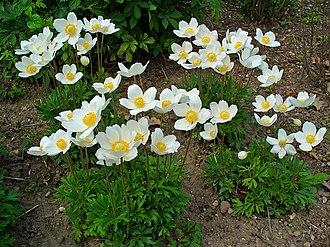 Anemone - Image: Anemone sylvestris 001