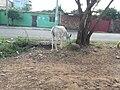 Animal Comiendo a un costado de la calle en Atalaya, Cúcuta.jpg