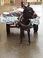 Animal transport 1 - Oujda - Morroco.jpg