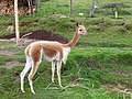 Animals of Peru 141.jpg