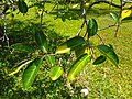 Annona glabra 02 - Leaves.jpg