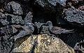 Anous stolidus galapagensis, isla Santa Cruz, islas Galápagos, Ecuador, 2015-07-26, DD 44.jpg