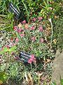 Antennaria dioica Duguid - Flickr - peganum (1).jpg
