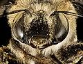 Anthophora californica, f, face, Hidalgo Co., Animas, NM 2016-07-19-18.16 (28800692105).jpg