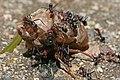Ants eating cicada, jjron 22.11.2009.jpg
