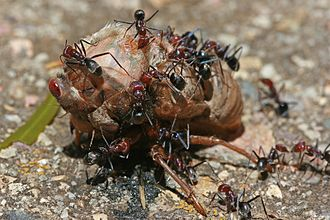 Predation - Social predators: Meat ants cooperate to feed on a cicada far larger than themselves.