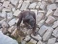 Ape - Orangutan - വാലില്ല കുരങ്ങൻ 02.JPG