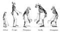 Ape skeletons hr.PNG