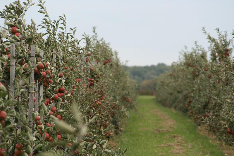 File:Apfel-anpflanzung-weit.jpg
