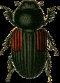 Aphodius varians Jacobson.png