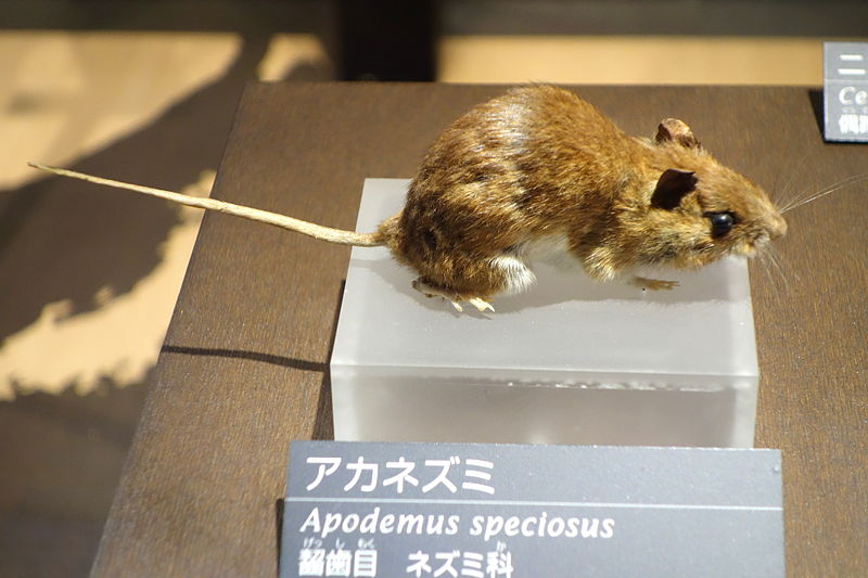 File:Apodemus speciosus - National Museum of Nature and Science, Tokyo - DSC07023.JPG