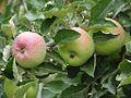 Apples (4223655107).jpg