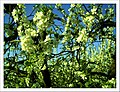 April Season Apple Blossom - Master Landscape Rhine Valley 2013 - panoramio (6).jpg
