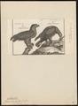 Aquila chrysaëtos - 1782-1825 - Print - Iconographia Zoologica - Special Collections University of Amsterdam - UBA01 IZ18100171.tif