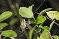 Araneae (43513200992).jpg