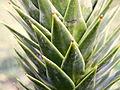 Araucaria araucana (1).JPG