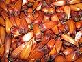 Araucaria seeds.JPG