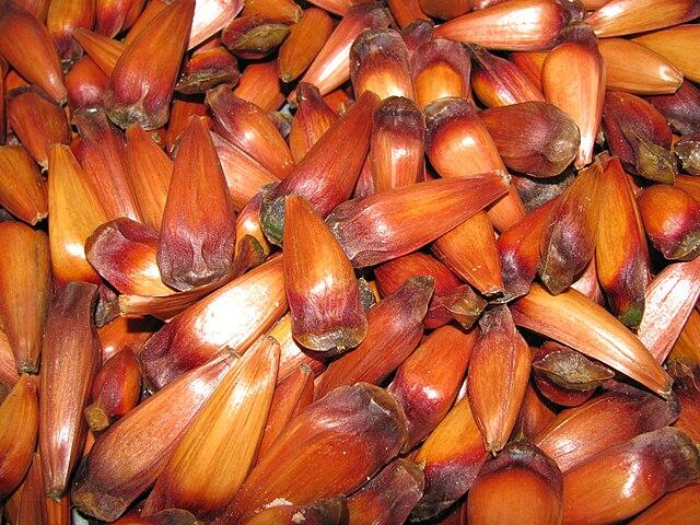 Araucaria angustifolia seeds