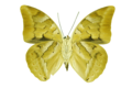 Archaeoprepona demophon2.png