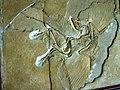 Archaeopteryx in Berlin Museum.jpg