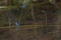 Archibasis oscillans and Pseudagrion indicum-Kadavoor-2016-06-26-001.jpg