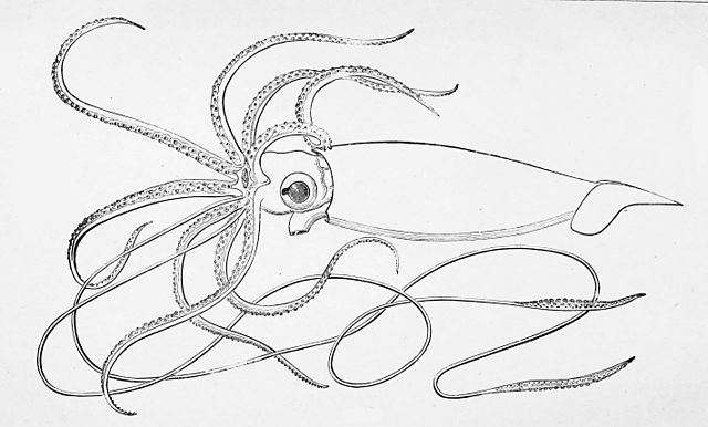 29 25 11 1873 AE Verrills Reconstruction Of Architeuthis Harveyi The Logy Bay Giant Squid