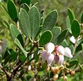 Arctostaphylos hookeri ssp franciscana 3.jpg